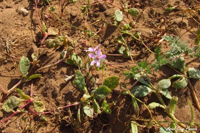 Malvilla (Cristaria pinnata) - Desierto Florido
