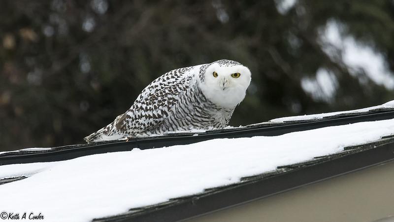 151108 - Snowy Owl - 2