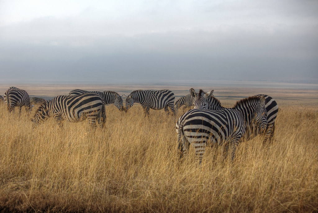 Zebras grazing inside the crater