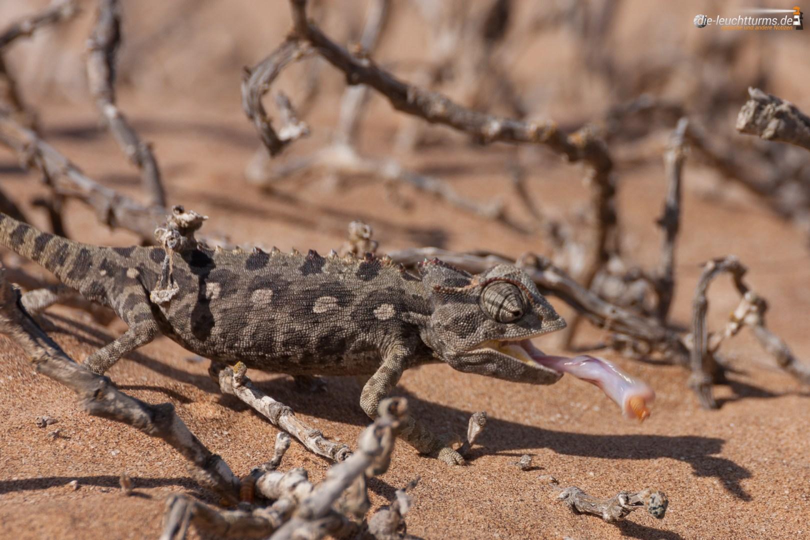 Namaqua chameleon (Chamaeleo namaquensis)
