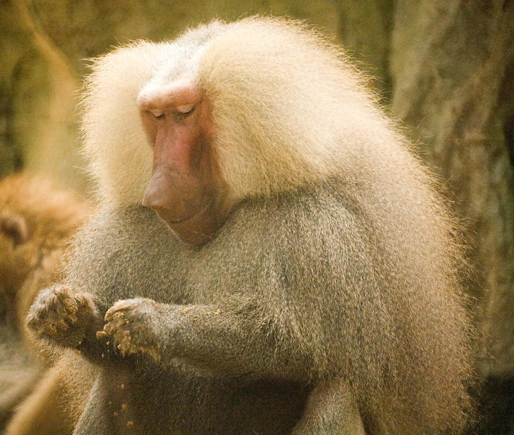 Imagen gratis de un babuino