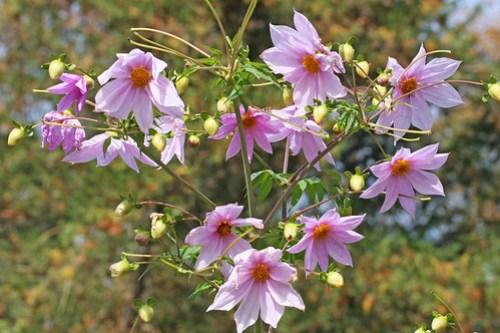 Dahlia(Kodachidahlia) at Jindai Botanical Gardens(Tokyo, Japan)