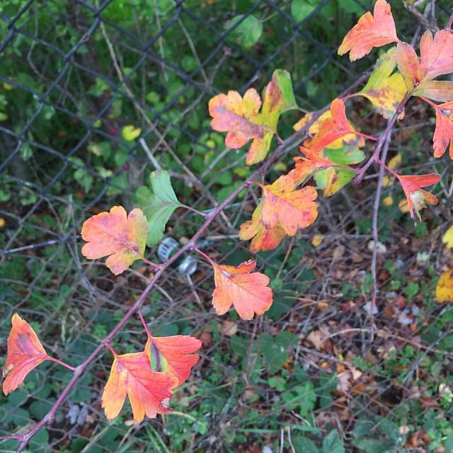 Autumn walk - hawthorn leaves