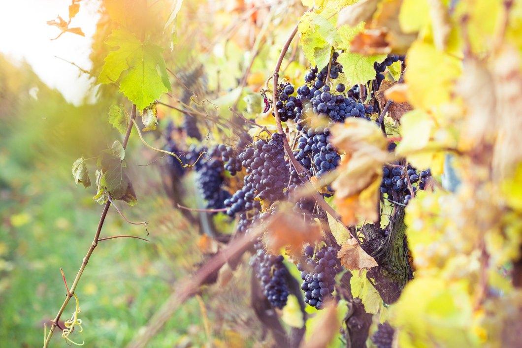Imagen gratis de unas uvas en la viña