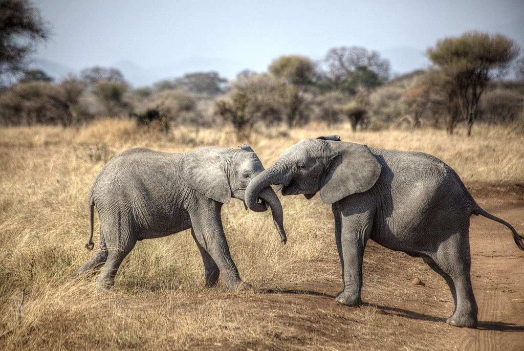 Two elephants playing around