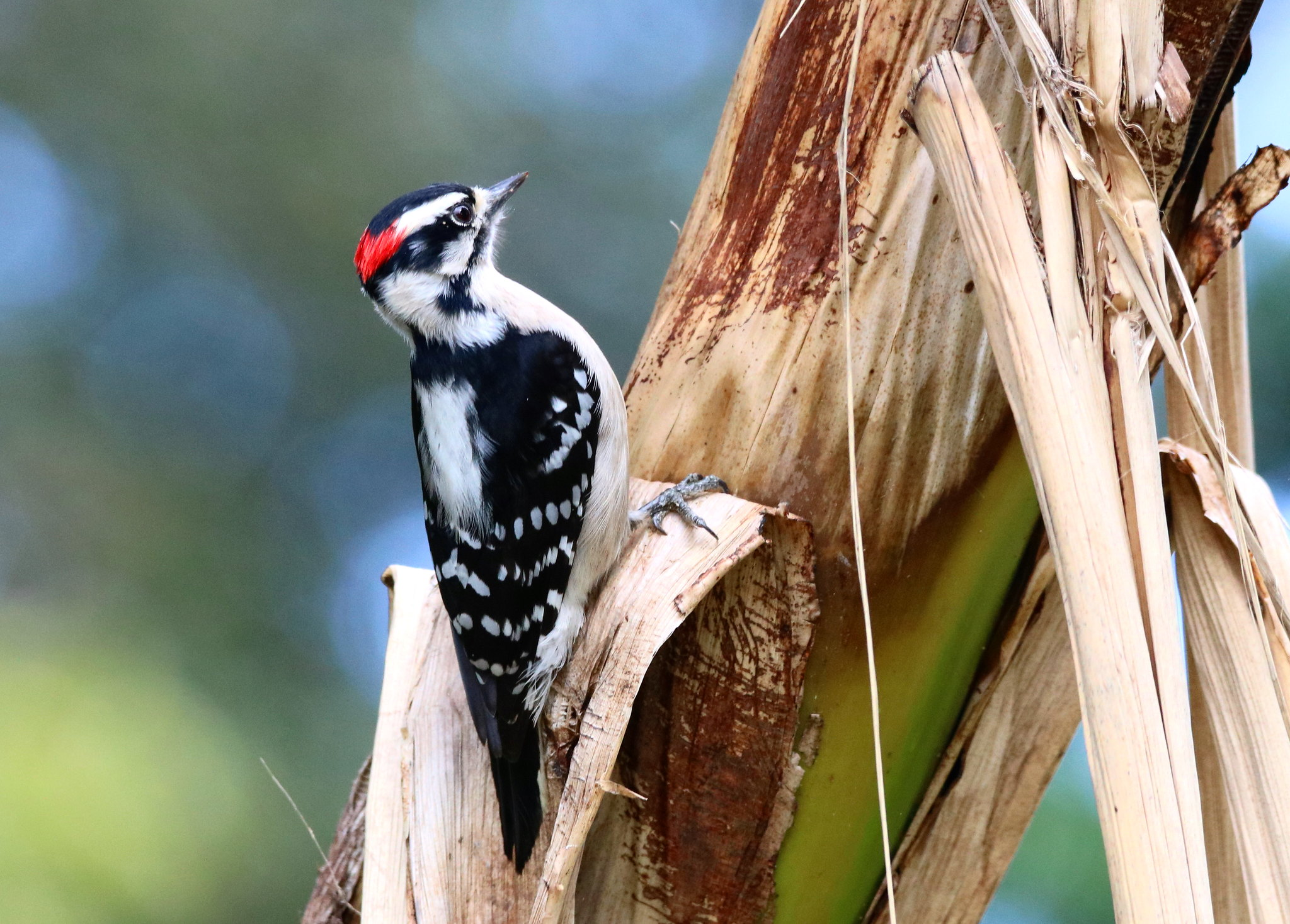 DOWNY WOODPECKER - male Yardbirds, Winter Haven, Fl.