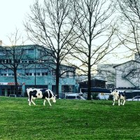 0316 - fake office cows