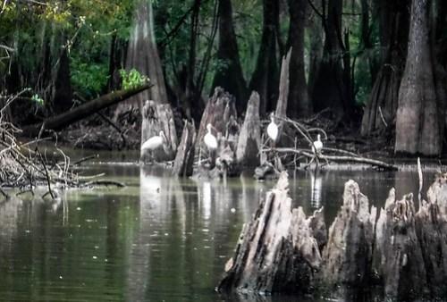 Sparkleberry Swamp with LCU-115