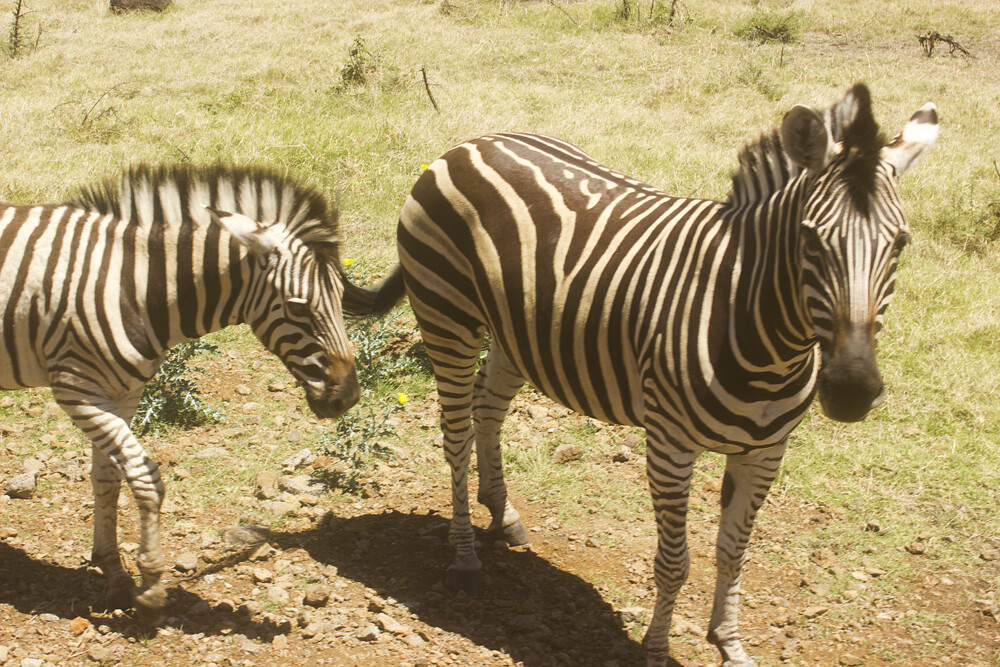 zebra Casela Nature Wildlife Reserve Mauritius day out tourism animals tapeparade safari birds tortoise