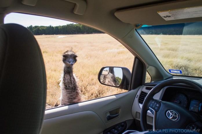 Emu in Fossil Rim Wildlife Center