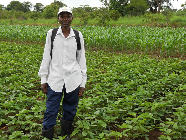 Mr. Richard Soko in his farm. He planted maize-cowpea rotation as part of his ongoing engagement in conservation agriculture Photo credit: CIMMYT