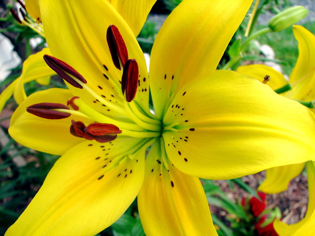 Yellow Tiger Lily  Flickr  Photo Sharing