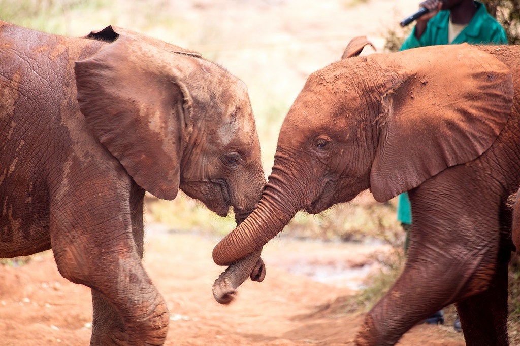 Two elephants snuggling each other