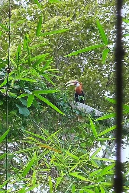 Blyth's hornbill. Sawai, Pulau Seram