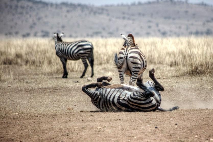 A quick back scratch in Serengeti National Park