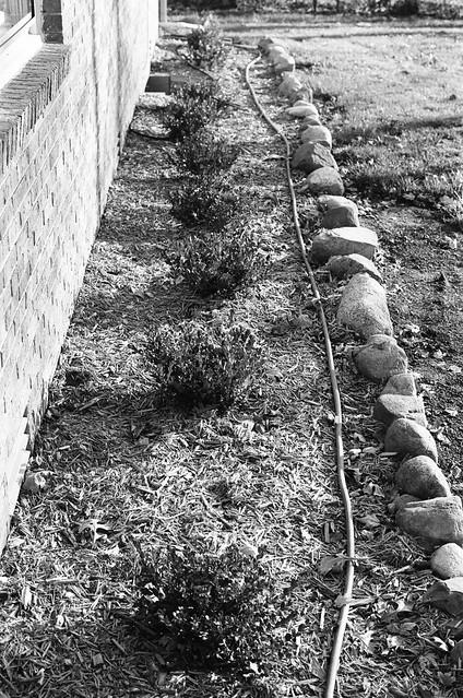 Fledgeling hedgerow