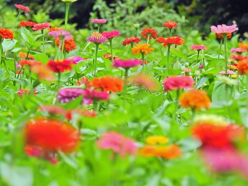 Dahlia, Oiwake Community Woods, Yokohama, Japan