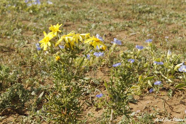 Desierto Florido Costero - Senecio (Senecio myriophilus)