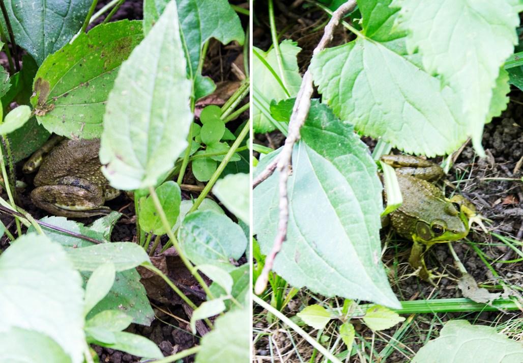 mt-cuba-gardens-delaware-frog