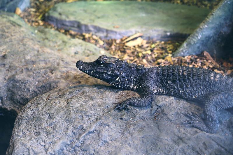 crocodile at the oceanarium