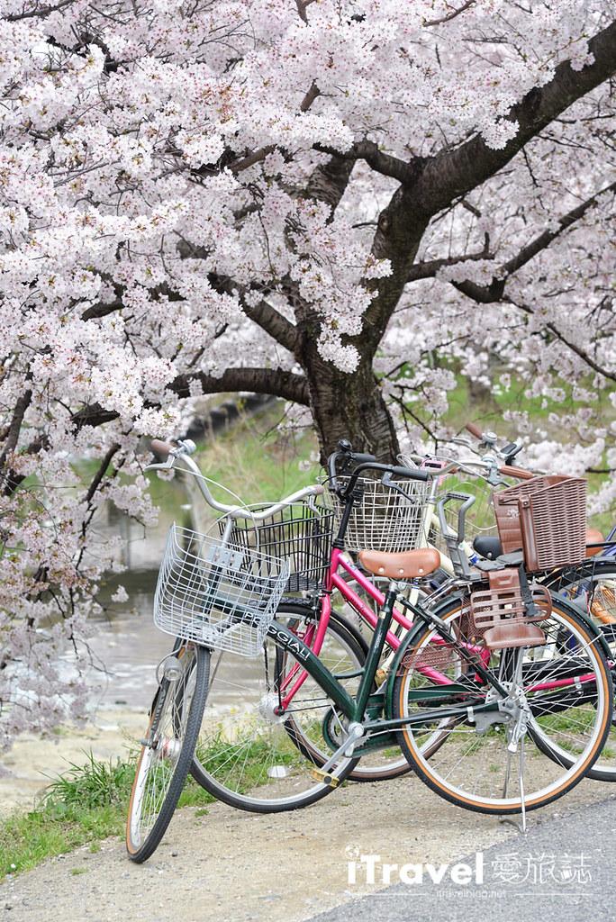 奈良赏樱景点 高田川千本樱 12