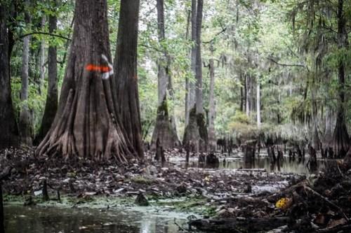 Sparkleberry Swamp with LCU-75