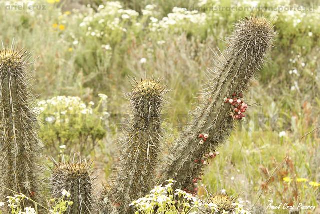 Muérdago (Tristerix aphyllus) - Desierto Florido