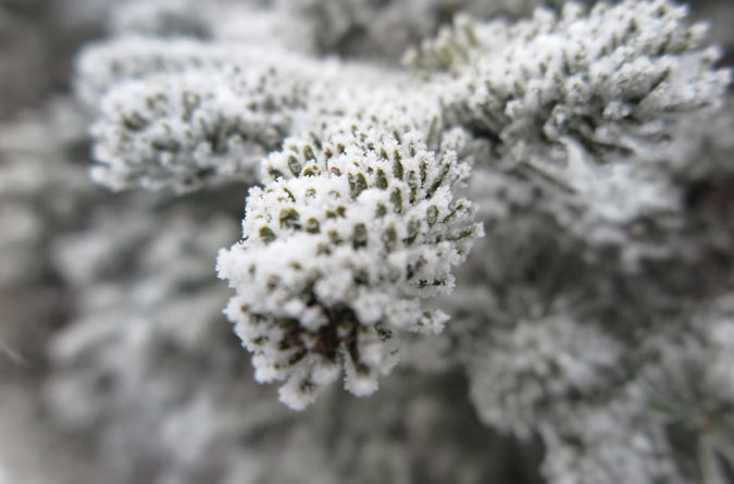 North Hancock Fir Macro