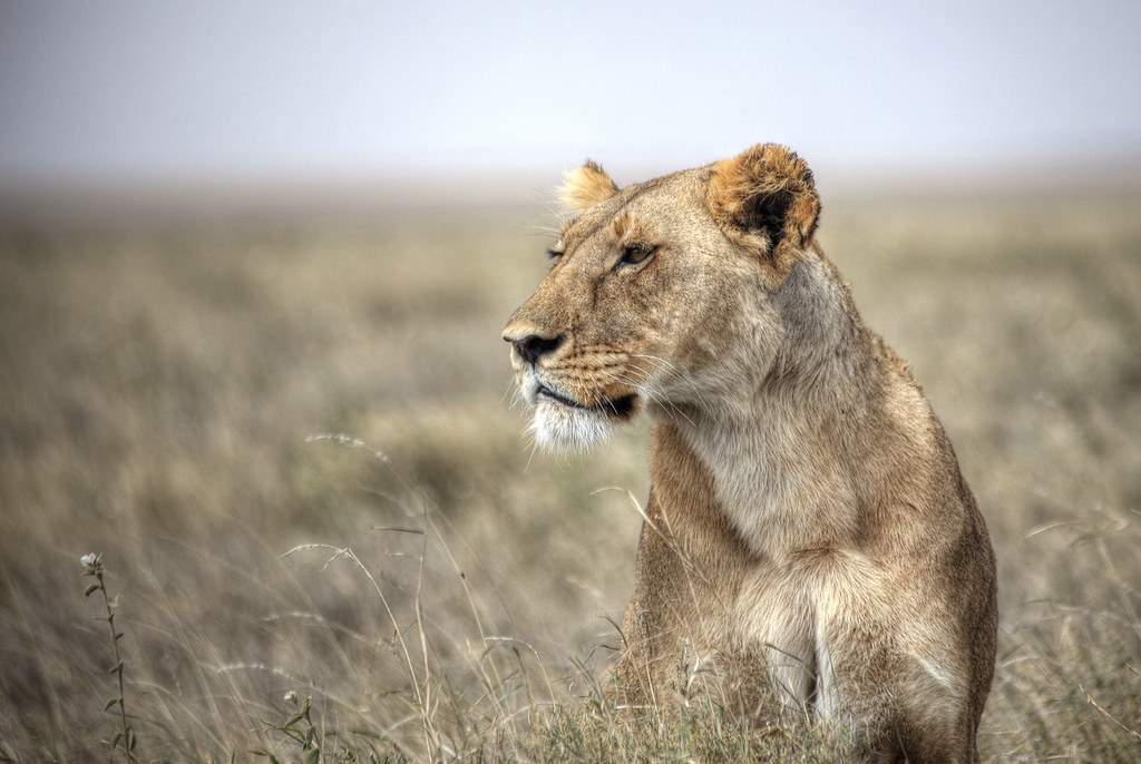 Forever on the prowl in Serengeti National Park