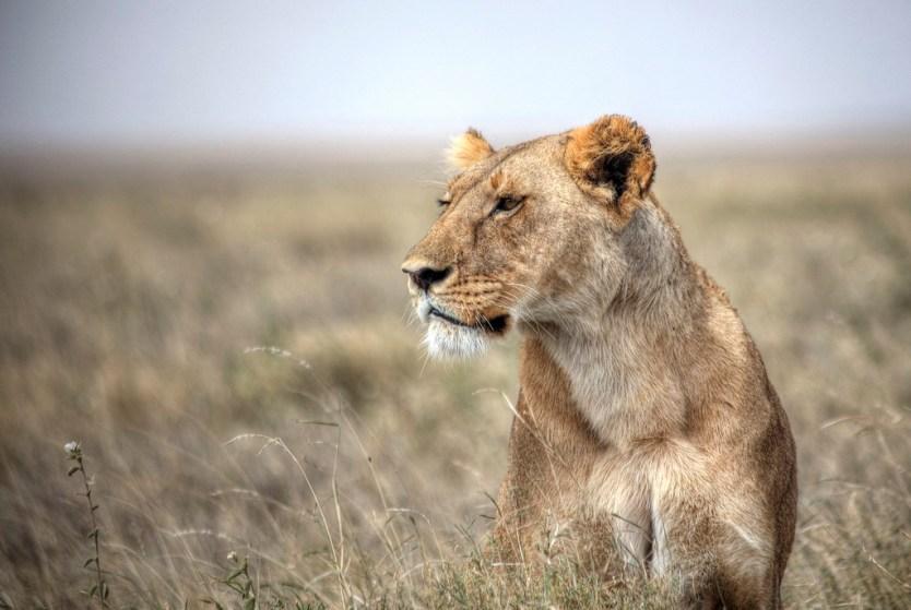 Forever on the prowl in Serengeti National Park