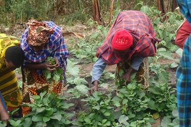 Farmers in Sunya village harvesting the African nightshade variety 'Nduruma' introduced by AVRDC and HORTI-Tengeru. Local farmers appreciate especially the high drought tolerance and the sweet taste of this variety. Photo credit: Hassan Mndiga/AVRDC