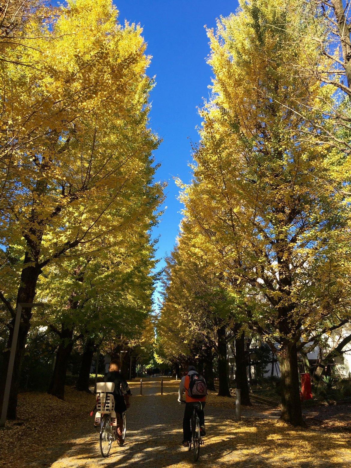 Tokyo University Komaba Campus Autumn Ginkgo Biloba colors