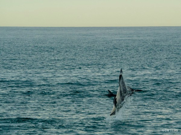 Dolphin Encounter, Kaikoura