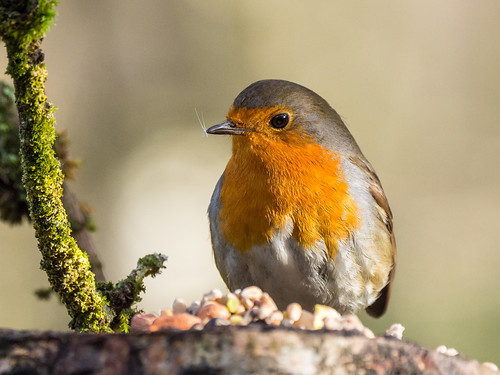 A Robin (and friends) for Christmas