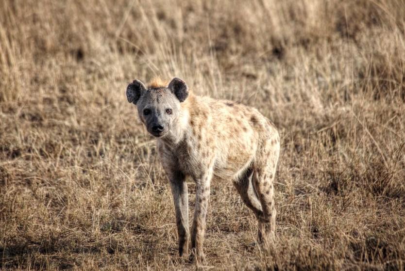 Mr. Hyena