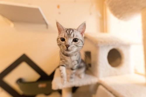 アトリエイエネコ Cat Photographer 26098824827_bfdb40071a 1日1猫!保護猫カフェみーちゃ・みーちょ その2 1日1猫!  里親様募集中 猫写真 猫 子猫 大阪 保護猫カフェ 保護猫 スマホ カメラ みーちゃ・みーちょ Kitten Cute cat