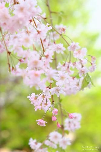 枝垂れ桜 20180402-DSCT9240 (2)