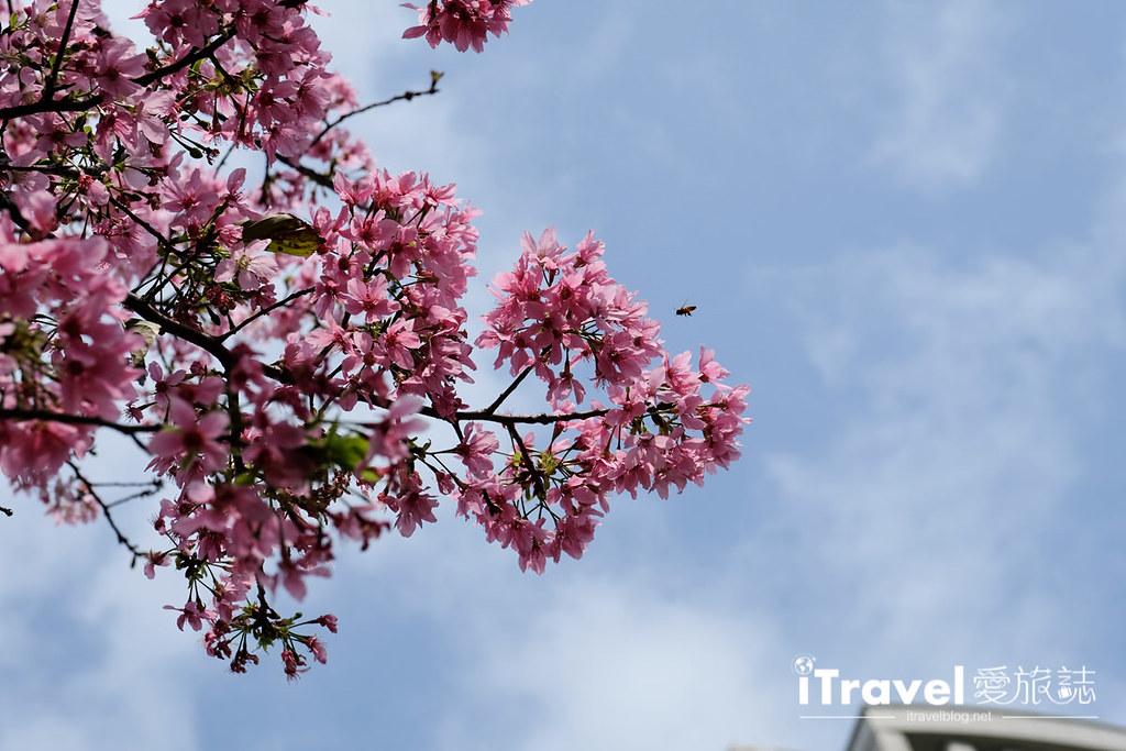 土城赏樱景点 希望之河左岸樱花 (21)