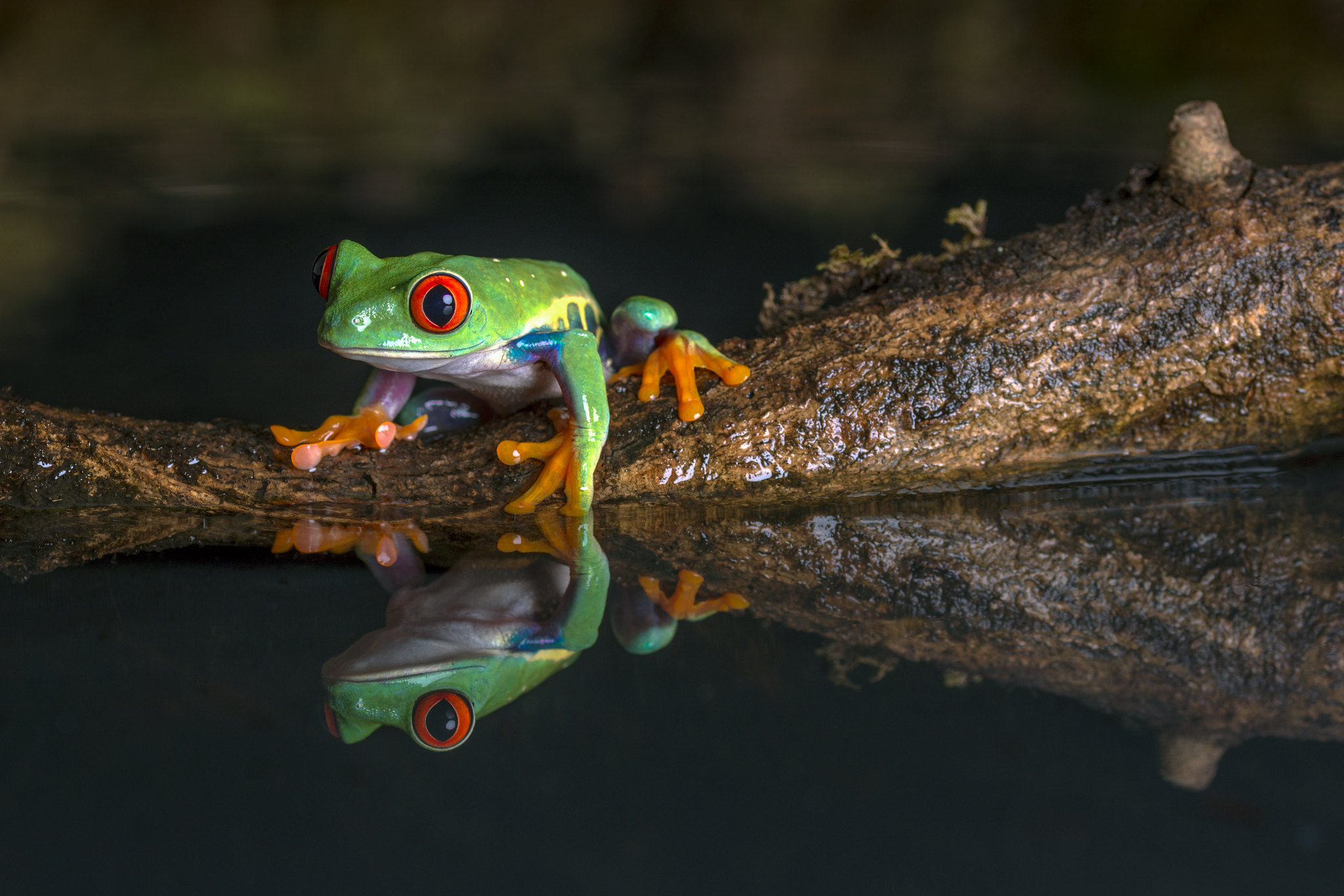 Red-Eyed Tree Frog, CaptiveLight, Bournemouth, Dorset, UK