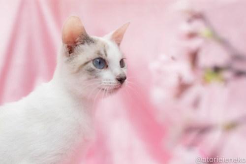 アトリエイエネコ Cat Photographer 39347727300_5a2e61ec05 1日1猫!高槻ねこのおうち_カフェぽぉ譲渡会_1 1日1猫!  高槻ねこのおうち 里親様募集中 譲渡会 猫写真 猫 子猫 大阪 写真展 写真 保護猫 カメラ Kitten Cute cat