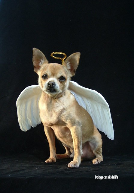 Timmy The Chihuahua Is A Christmas Angel Flickr Photo
