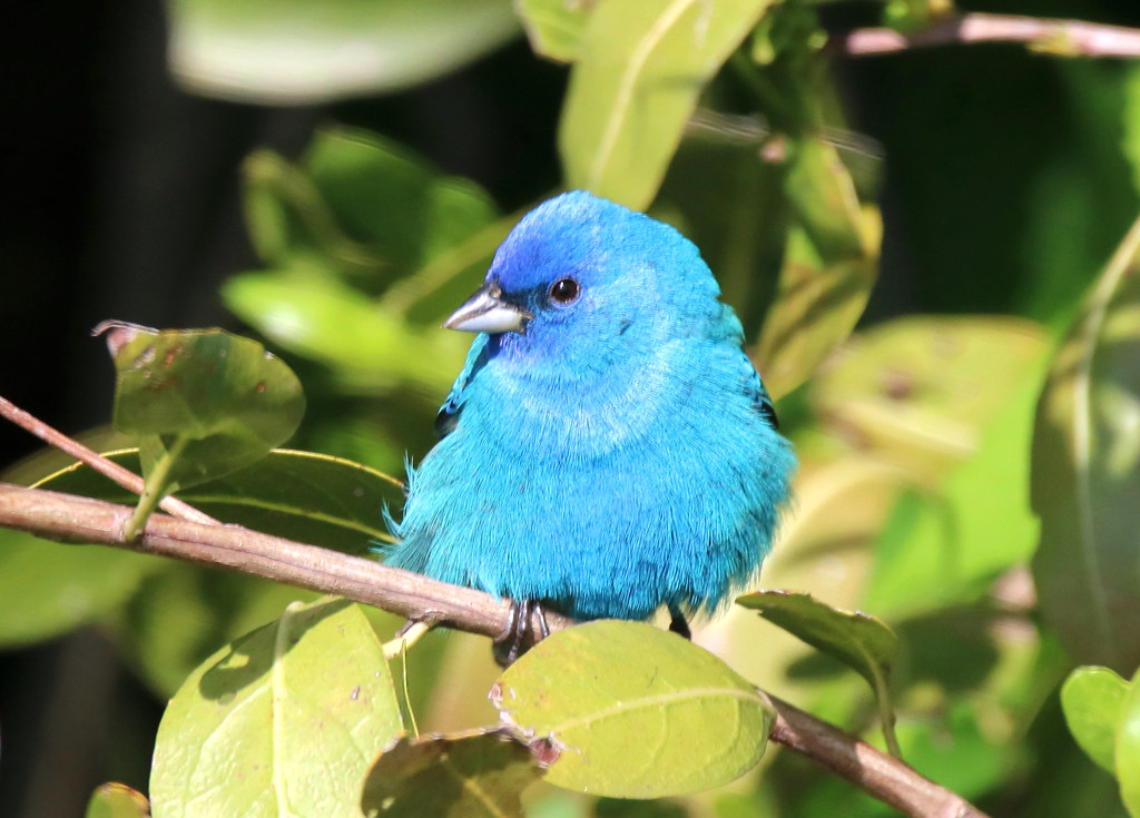 INDIGO BUNTING at Fort DeSoto Park