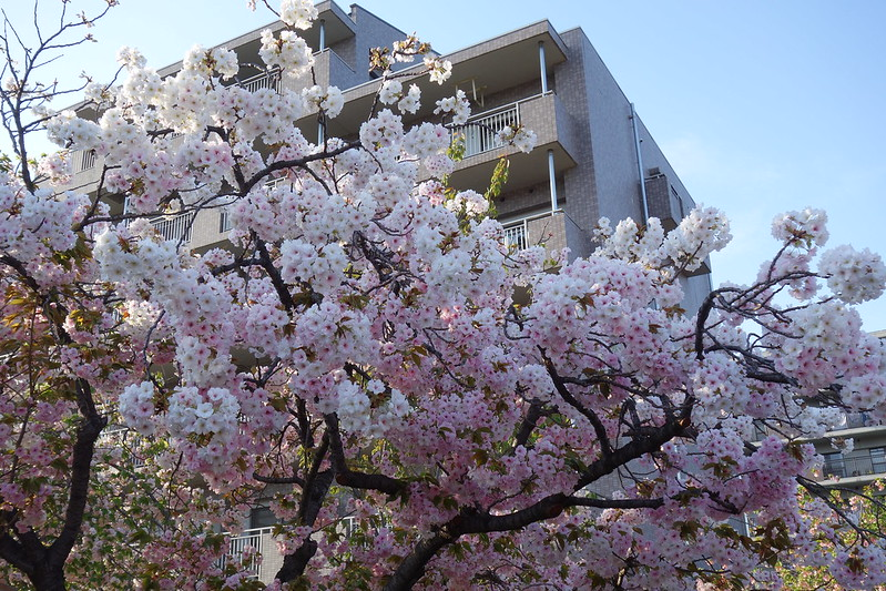 【大阪。北區|遊】大阪造幣局,限定開放的人氣櫻花景點 @ 阿瓜在臺灣日本的溜搭生活 :: 痞客邦
