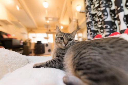 アトリエイエネコ Cat Photographer 40261589124_9fb890b6cf 1日1猫!保護猫カフェみーちゃ・みーちょ その1 未分類  里親様募集中 猫写真 猫 子猫 大阪 初心者 写真 保護猫カフェ 保護猫 カメラ みーちゃ・みーちょ Kitten Cute cat