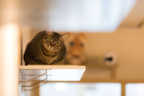 アトリエイエネコ Cat Photographer 40261838474_a8fa2c124e 1日1猫!保護猫カフェみーちゃ・みーちょ その1 未分類  里親様募集中 猫写真 猫 子猫 大阪 初心者 写真 保護猫カフェ 保護猫 カメラ みーちゃ・みーちょ Kitten Cute cat
