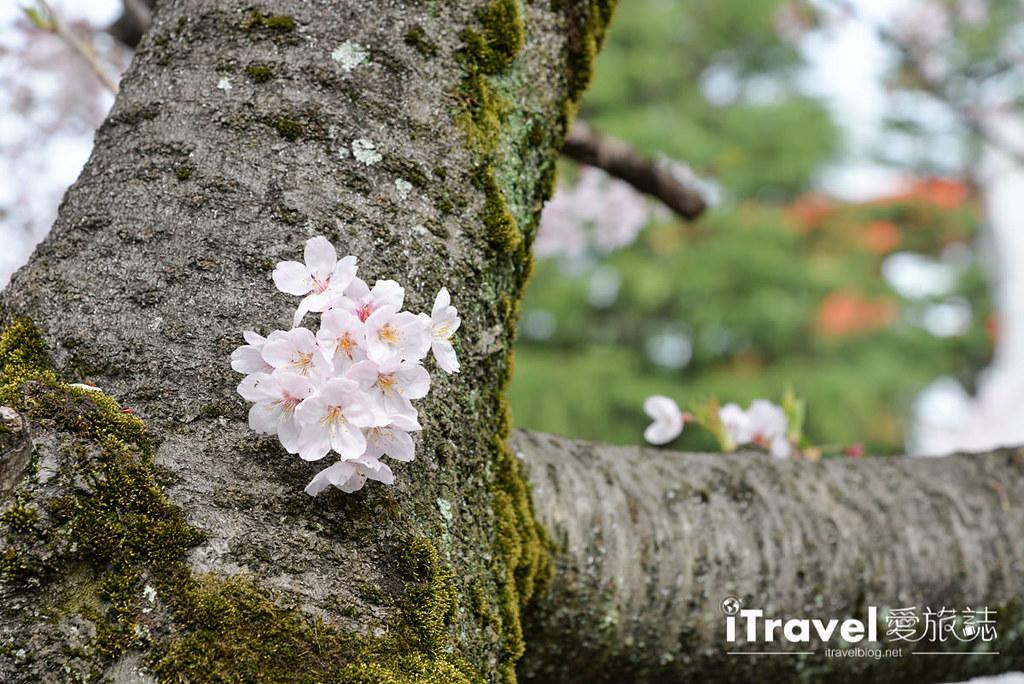 京都賞櫻景點 岡崎疏水道 (32)