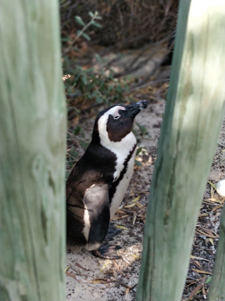 Cape Town South Africa Travel Blog Penguin Colony