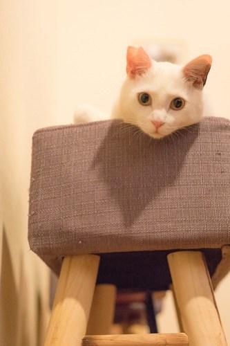 アトリエイエネコ Cat Photographer 26099120907_d29a5f8304 1日1猫!保護猫カフェみーちゃ・みーちょ その2 1日1猫!  里親様募集中 猫写真 猫 子猫 大阪 保護猫カフェ 保護猫 スマホ カメラ みーちゃ・みーちょ Kitten Cute cat