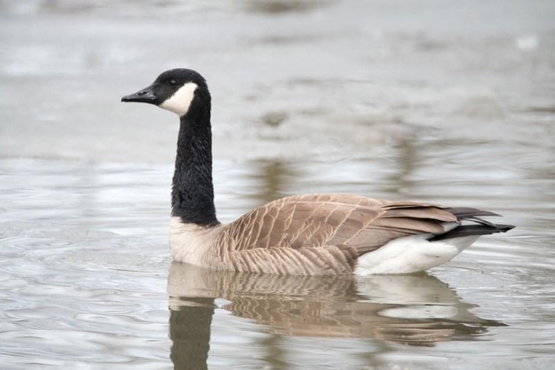 _8501454 Canada Goose