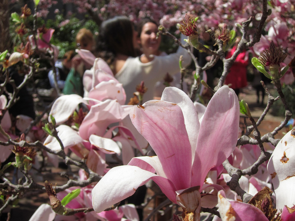 Magnolias at the Smithsonian Castle